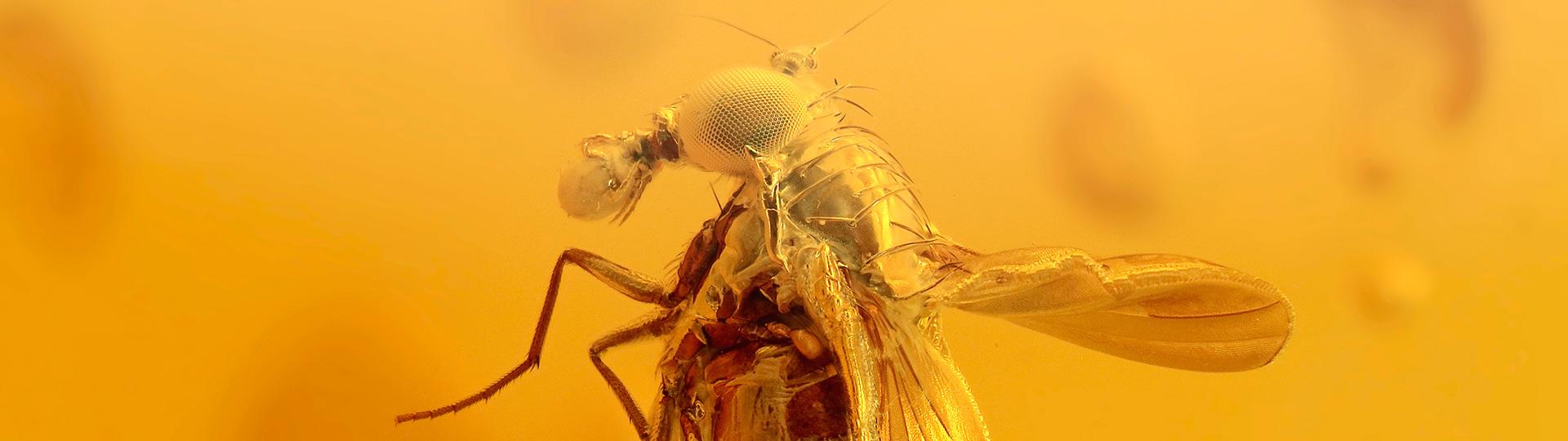 Phoresie als Bernstein Inkluse, eine Milbe angeheftet an einer Fliege als Bernstein Einschluss