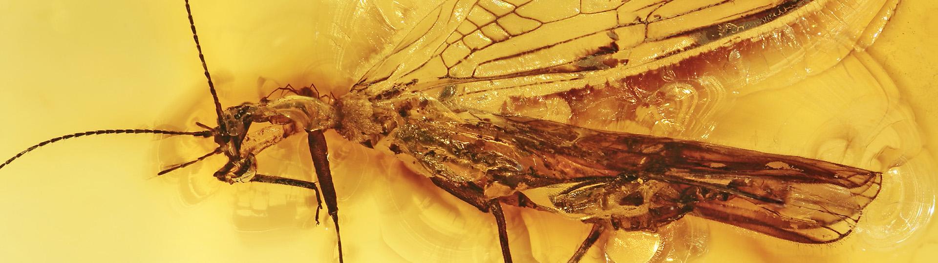 Eine Milbe angeheftet an einer Steinfliege, Phoresie im Bernstein als Einschluss