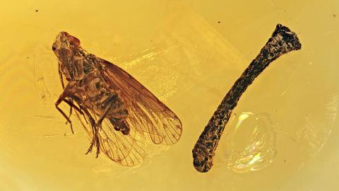 Eine Zikade und ein Ast als Inklusen im Bernstein