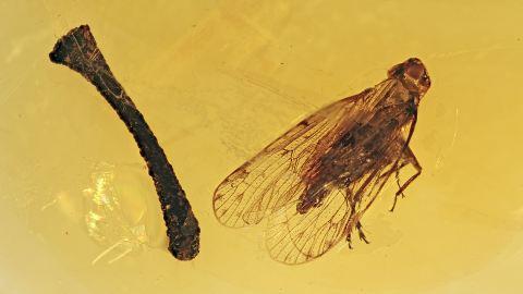 Eine Zikade, ein Ast im Baltischen Bernstein