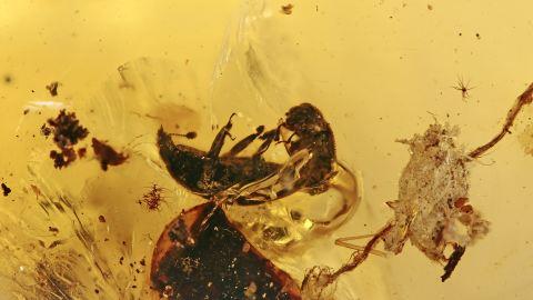 Glanzkäfer (Nitidulidae) und ein Schwarzkäfer (Zopheridae) und Stück Borke im Bernstein