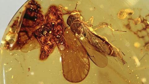Wespe und Zikade als Einschlüsse im Burma Bernstein