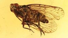 Eine Zikade im Baltischen Bernstein