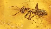 Eingesponnene Ameise mit Luftblase auf Körper  als Inkluse im Bernstein