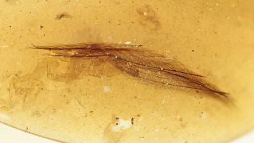 DINO-Feder eines Laufvogels als Einschluss im Bernstein