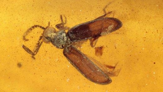 Käfer-Aktion mit ausgebreiteten Flügeln im Bernstein