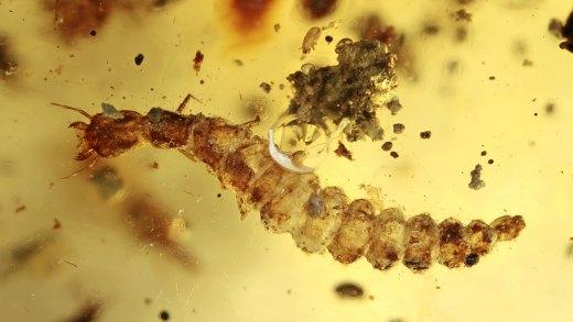 Käferlarve als Einschlüsse im Bernstein