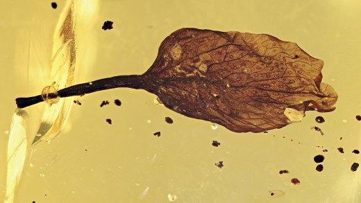 Bernstein Inkluse Hymenaea Blatt mit Stiel vom Bernsteinbaum!