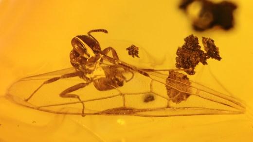 Ameise mit Flügel als seltene Aktion im Bernstein