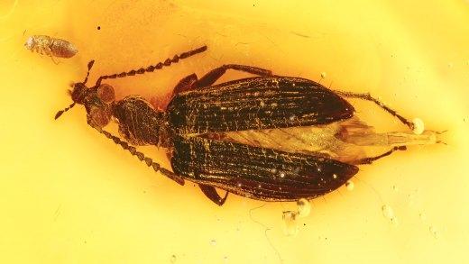 Käfers Tenebrionidae (Lagriinae, Statira) im Bernstein