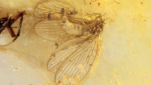 Netzflügler (Lacewing)  Sisyridae als Inkluse im Baltischen Bernstein