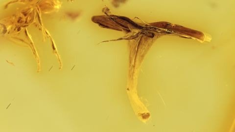 Ameisen und ein Staubblatt als Inklusen im Baltischen Bernstein