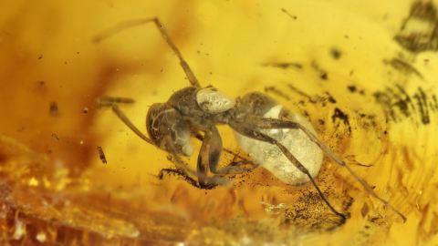 Ameisen im Bernstein