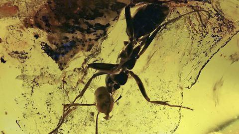 Ameisen als Inklusen