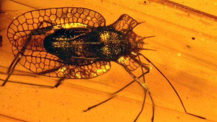 Tingiphatnoma suchorskii als eine neue Art in der Familie der Gitterwanzen (Tingidae)