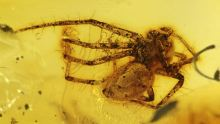 Spinne als Inkluse im Baltischen Bernstein