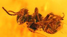 Biene als Inkluse im Bernstein