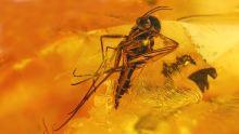 Große Mücke im Bernstein als Inkluse