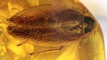 Schabe (Blattodea) als Einschluss im Bernstein