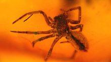 Spinnen als Einschluss im Bernstein