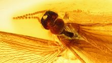 Termite mit Flügel als Einschluss im Baltischen Bernstein