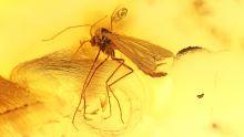 Mücke als Einschluss im Bernstein
