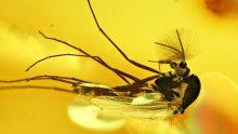 Zuckmücken als Bernsteininklusen