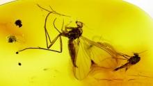 mehrere Mücken als Bernstein Einschlüsse