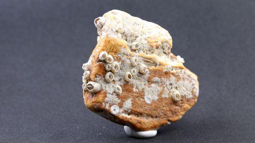 Seebernstein mit Seepocken