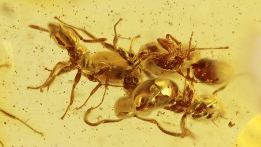 Ameisen Massenfang als Inklusen im Baltischen Bernstein