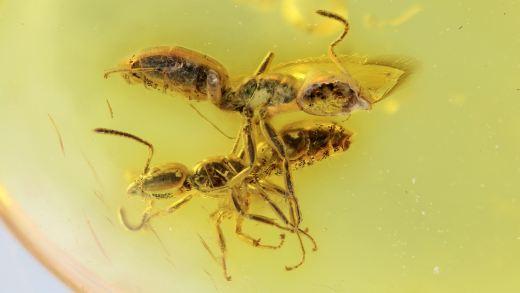 Zwei Ameisen als Inklusen
