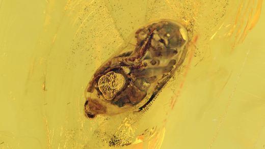 Ameisenlarve in Puppenhülle als Inkluse im Bernstein