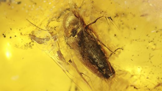 Käfer als Inkluse