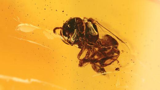 Biene als Einschluss im Bernstein