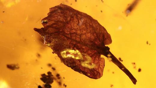 Ein Hymenea Blatt als Einschluss