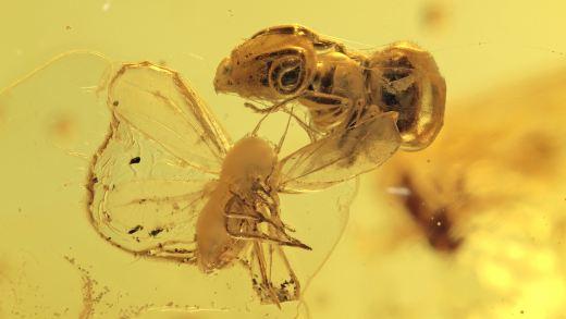 Eingesponnene Ameise und Rindenlaus als Inklusen