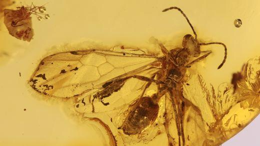 Geflügelte Ameise als Inkluse im Bernstein