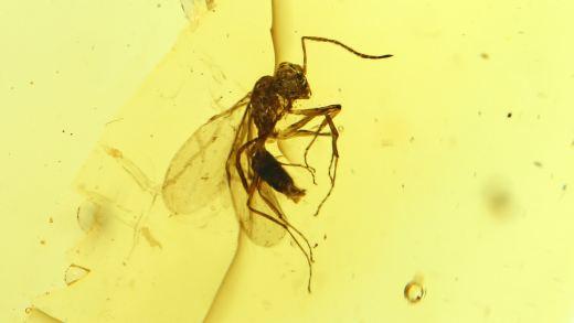 Ameise mit Flügeln als Einschluss im Baltischen Bernstein