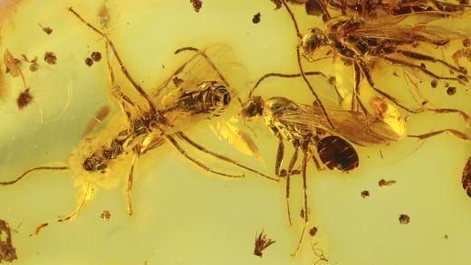 Geflügelte Ameisen als Einschlüsse im Bernstein