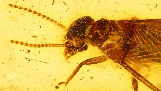 Geflügelte Termite als Inkluse