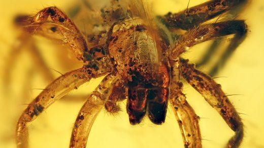 Spinne als Einschluss im Baltischen Bernstein
