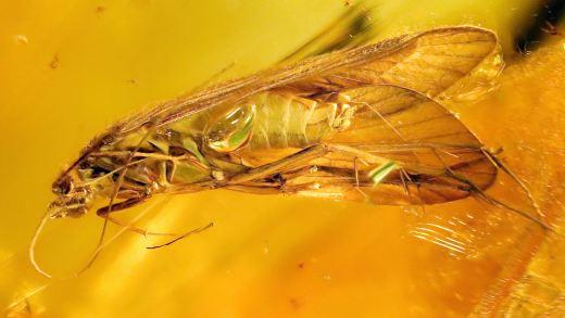 Köcherfliege Polycentropodidae als Inkluse im Bernstein