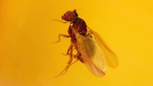 Kleine Fliege im Bernstein