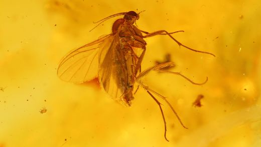 Mücke und Milben als Einschlüsse im Baltischen Bernstein