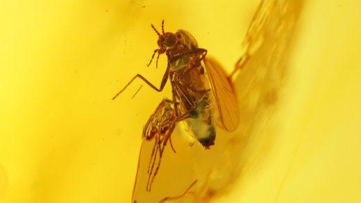 Zuckmücke Chironomidae als Einschluss im Bernstein