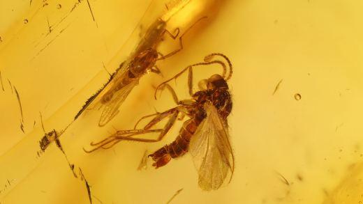 Mücken als Bernstein Inklusen