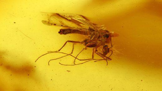 Mücken als Einschlüsse im Bernstein