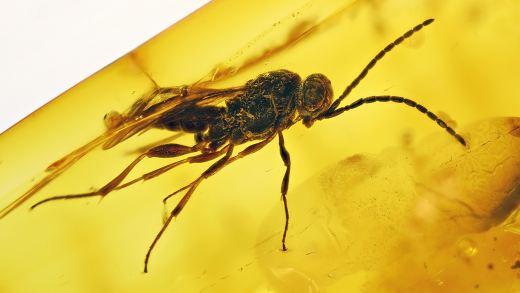 Schöne Wespe als Inkluse im Baltischen Bernstein