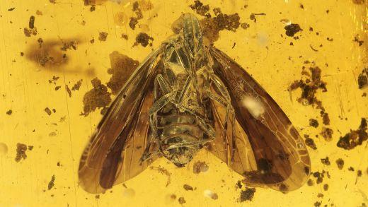 Zikade als Inkluse im Burma Bernstein