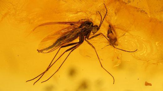 Mücken als Inklusen